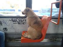 Maidanez in tramvai