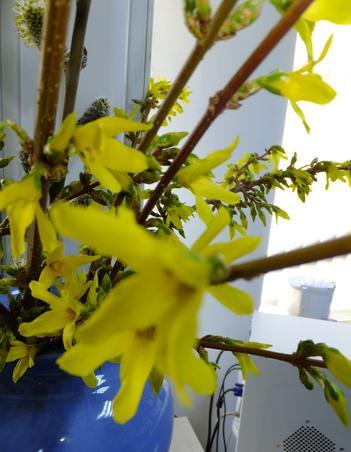 "primele ""flori"" de Forsythia (3)"