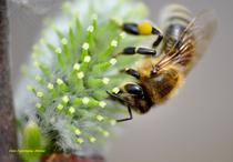 albina si polen