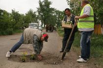 Localnicii planteaza panselute in gropile din asfalt