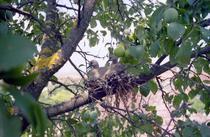 Pui de pasari (Foto: Societatea Ornitologica Romana)