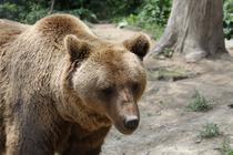 La sanctuarul din Zarnesti sunt 73 de ursi