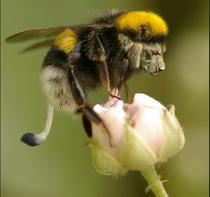 Bee-Lion