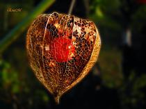 Floare lampion