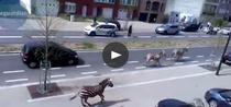 Zebre la plimbare prin Bruxelles