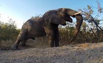 Elefant in parcul national Kruger