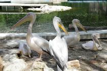 Pelicani Zoo 2
