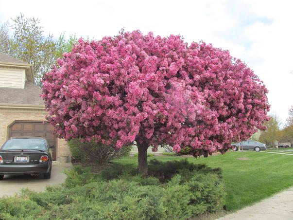 Pomul cu un milion de floricele
