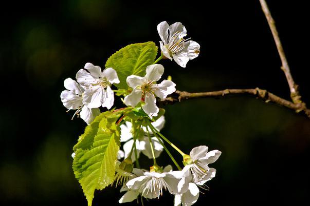 florile primaverii (3)