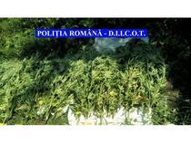 Cultura de cannabis, desfiintata de Politie si DIICOT