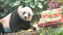 Femela Panda Jia Jia