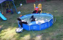 Sase ursi se distreaza in piscina unei familii din SUA