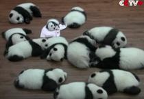 Perechi de ursi panda gemeni