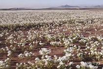Imens covor de flori in desertul Atacama