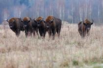 Zimbri_Copyright Rewilding Europe