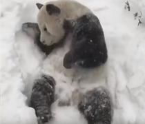 Ursul panda Tian Tian, jucandu-se in zapada