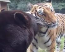 Prietenie intre un urs, un tigru si un leu