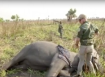 Elefant ucis de braconieri