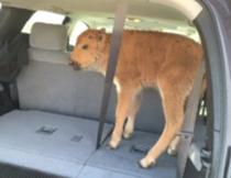 Pui de bizon, pus de turisti stupizi in masina