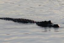 Aligator Maggiore