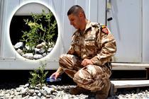 Un militar roman a cultivat un rasad de rosii in Kandahar