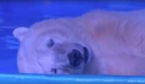 Cel mai trist urs polar din lume