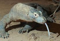 Dragonul de Komodo