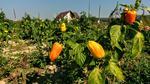 Agricultura in gradina