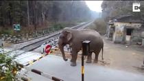 Elefantul vrea sa traverseze calea ferata