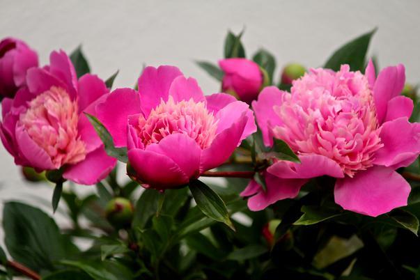bujorii roz