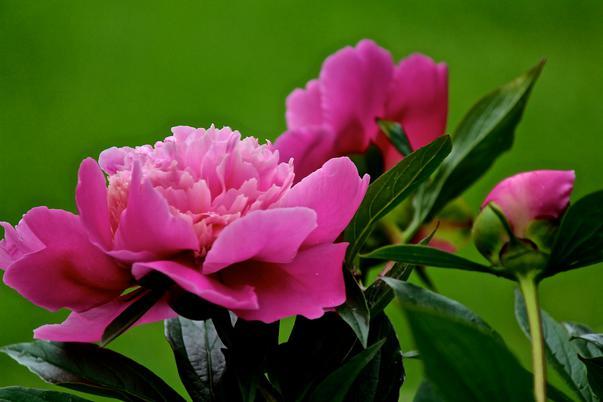 bujorii roz (3)