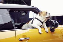 Bulldog Englez in MINI