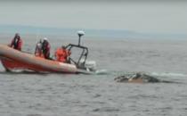 Salvarea unei balene ce s-a incurcat intr-o plasa de pescuit