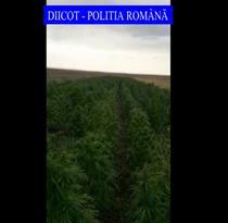 Plantatie de cannabis in Mehedinti