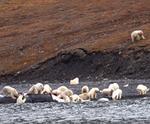 Ursi polari pe insula Wrangel