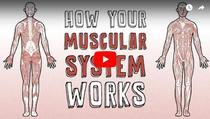 Cum functioneaza sistemul muscular