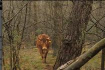 Vaca Hermien