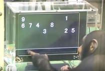 Cimpanzeii pot selecta numerele in ordine crescatoare
