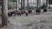 Turma de zimbri in Parcul Natural Vanatori Neamt