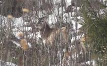 Cerbi filmati in Parcul National Calimani