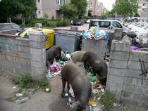 Porci la gunoi in Arad