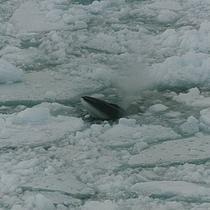 Balena Minke