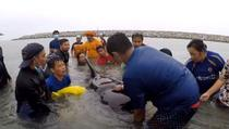 Incercare esuata de salvare a unei balene pilot