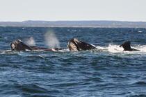 Balena in Atlanticul de Nord