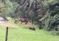Ursoaica cu pui, in apropierea Spitalului Judetean din Miercurea Ciuc