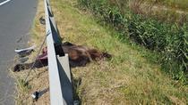 Ursul lovit vineri noapte pe autostrada
