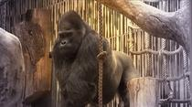 Gorila Fritz