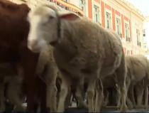 Turme de oi in Madrid