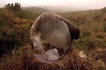 Albatrosul Tristan da Cunha