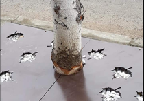 copaci ciopliti